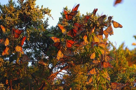 Monarch butterflies roosting. Flickr / Jane Kirkland