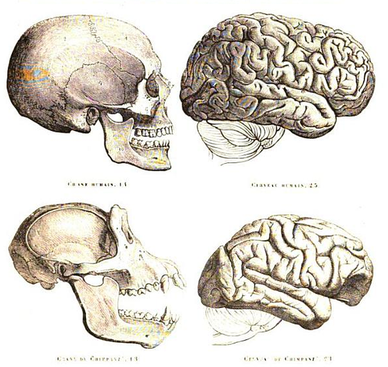 <i>Human and chimpanzee skull and brain</i>. Photography courtesy of Paul Gervais / Wikimedia