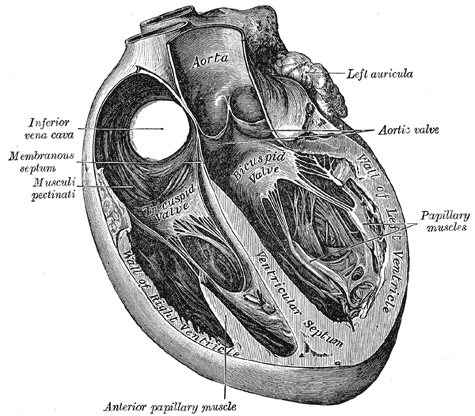 <i>Heart</i> in <i>Gray's Anatomy</i> (1858). Wikimedia Commons