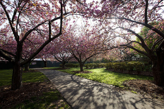 Cherry blossoms at the Brooklyn Botanic Garden. Photograph by AGogh / Wikimedia Commons