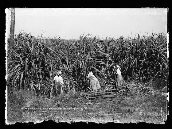 <i>Cutting sugar cane in Louisiana, photographed between 1880-1897.</i> Photograph by William Henry Jackson / Library of Congress