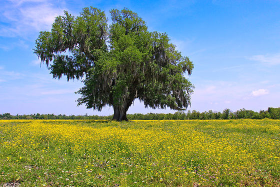 Lone oak in St. Bernard Parish, Louisiana. Photo by Edd Prince / Wikimedia Commons