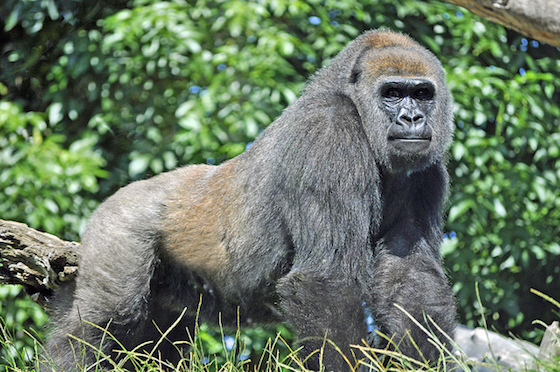 Western lowland gorilla (Gorilla gorilla gorilla). Photograph by Heather Paul / Flickr