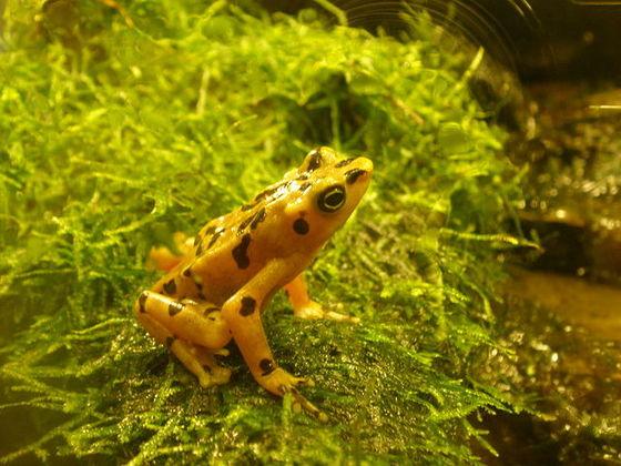 <i>Panamanian golden frog (Atelopus zeteki), photographed at the National Zoo</i>. Photograph courtesy of Sesamehoneytart / Wikicommons